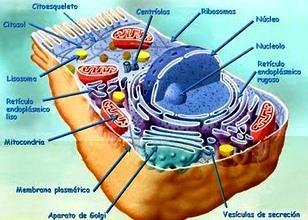 Imagen de Célula Eucariota Animal señalando sus partes