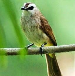 8 Cara Dan Tips Akurat Agar Burung Trucukan Cepat Gacor Paling Lengkap