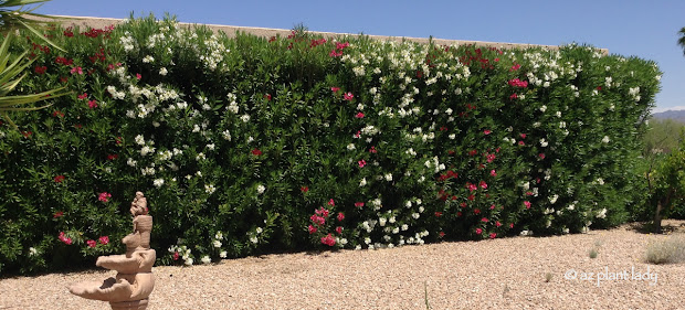 drought tolerant and beautiful