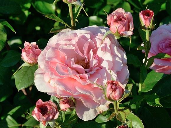 Tickled Pink сорт розы фото Минск