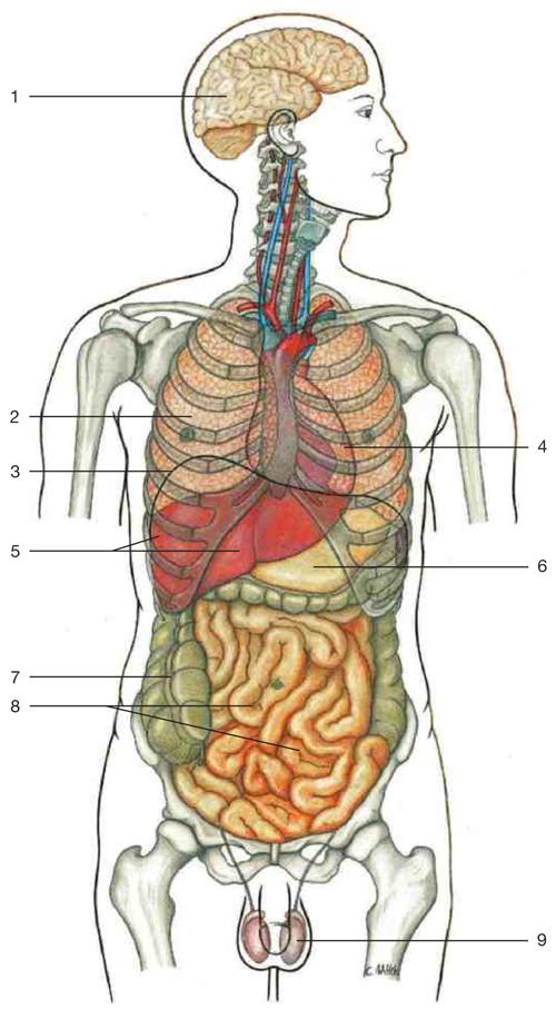 Letak organ dalam manusia - Raimond Well