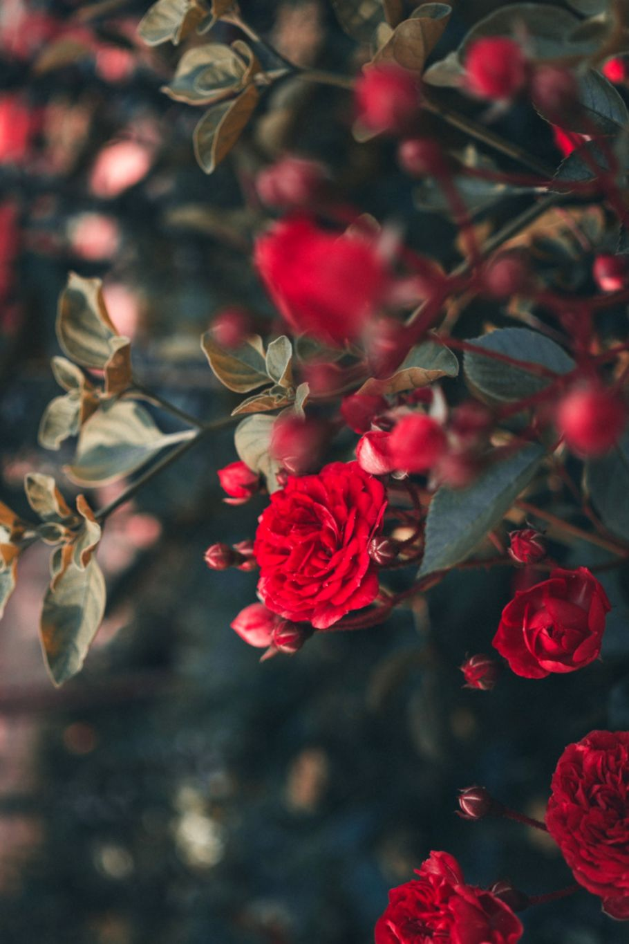 roses hd wallpaper root