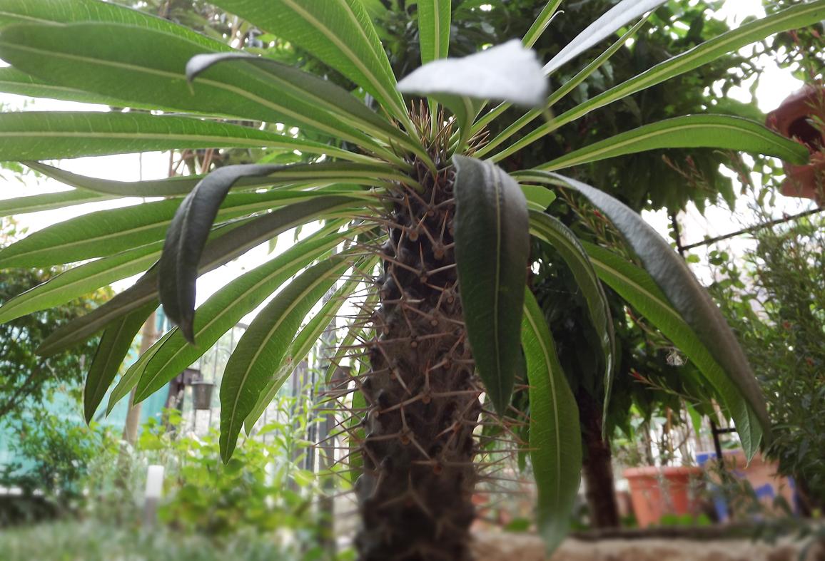 Palme Da Vaso Per Esterno 25mq-di-verde: la palma del madagascar