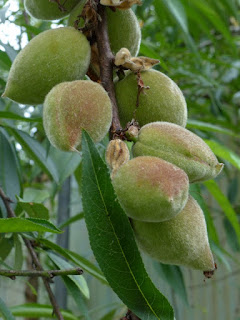 Amandier - Amande douce - Amandon - Prunus dulcis - Prunus amygdalus