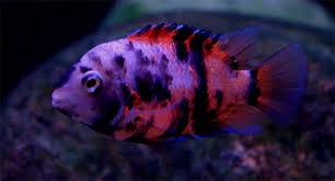 convict oranye ikan hias air tawar