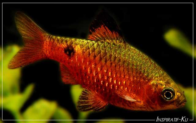 Macam-macam Ikan Hias Kongo Tetra