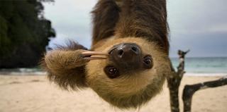 sloth berjari dua