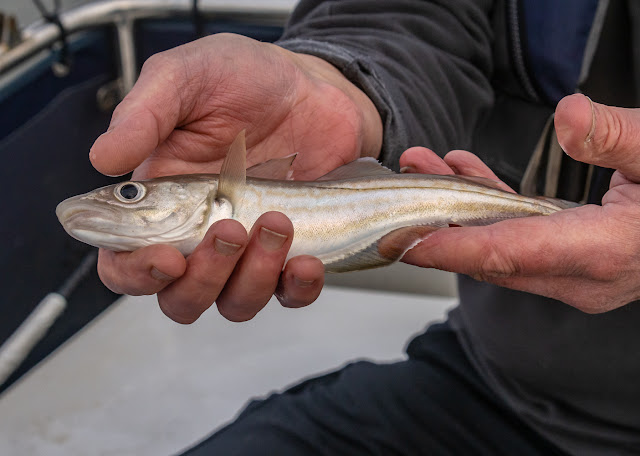Photo of the small whiting Phil caught this trip