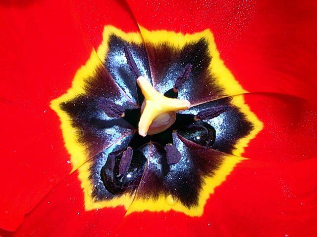 wnętrze czerwonego tulipana jest pełne kolorów