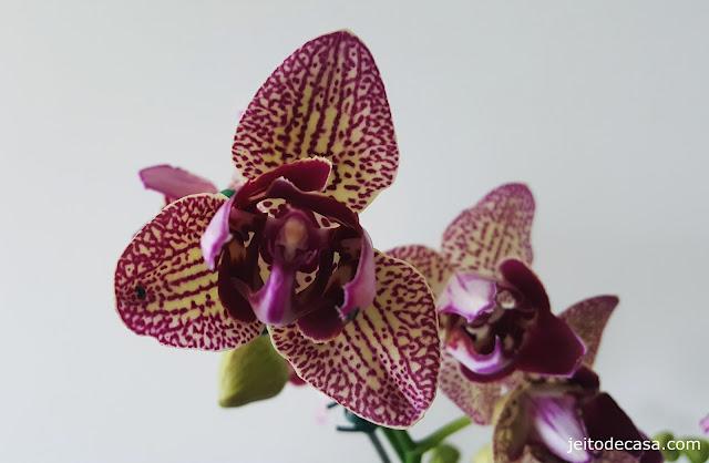 orquidea-diferente-phalaenopsis