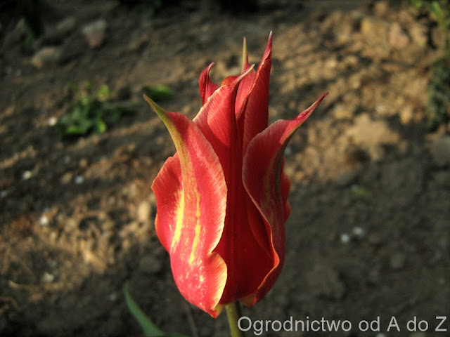 Tulipa 'Aladdin'