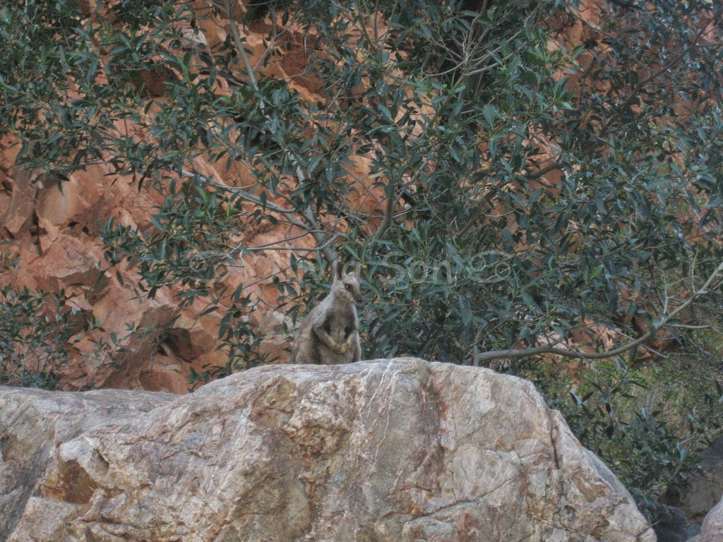 Wallaby, Ormiston Gorge, Australie