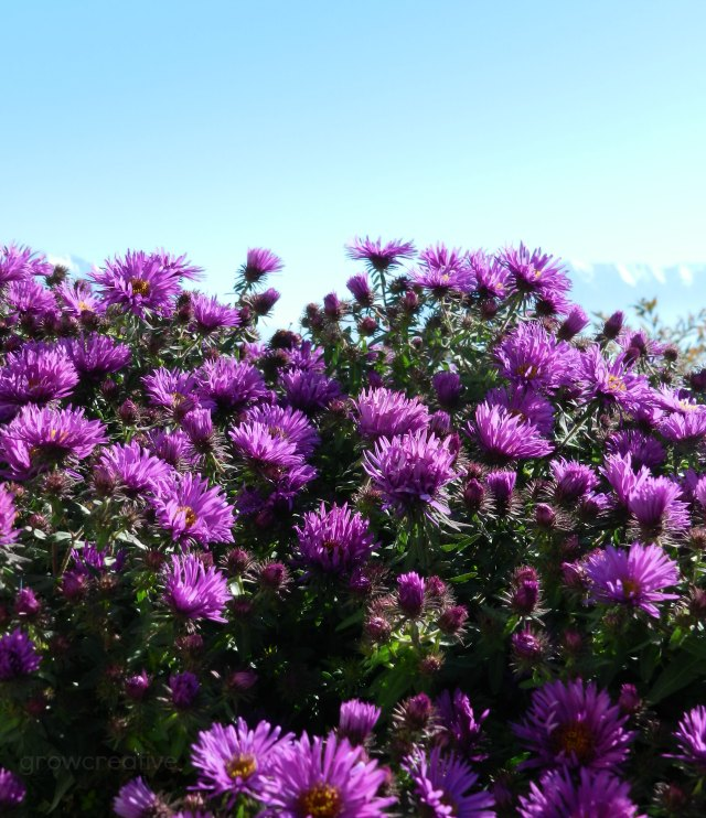 Purple Aster Flowers: Grow Creative Blog