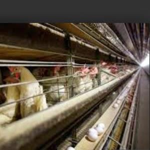 Razon para sacrificar 2 millones de gallinas