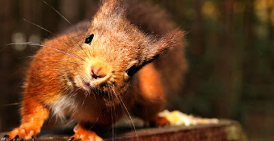 Where to find red squirrels