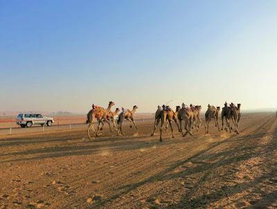 Course de chameaux à Al Ain (Émirats arabes unis). Crédit : Valérie Robert