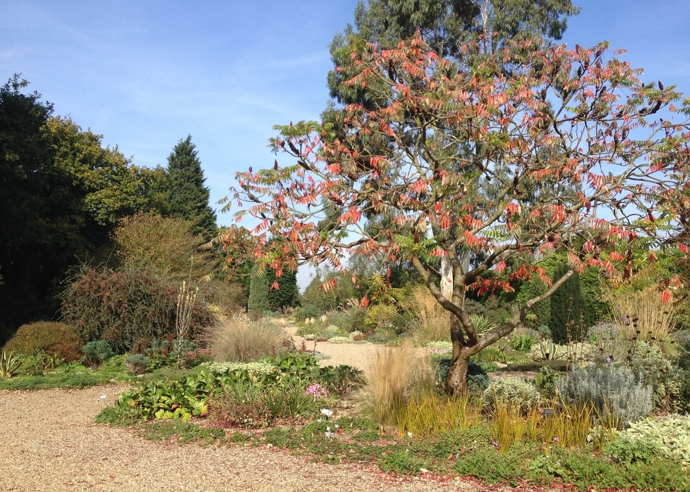 Rhus typhina one of the highlights in Beth Chatto's gravel garden