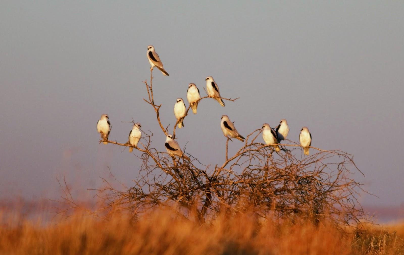 sunshinecoastbirds letter winged kite birdsville track flinders