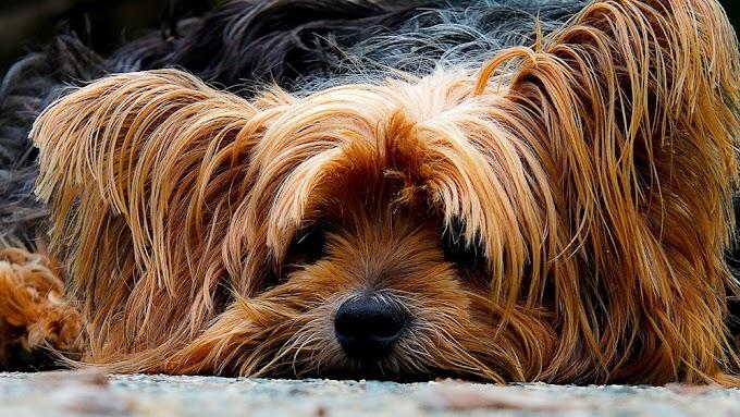 Köpek Sağlığında Ksilitol Tehlikesi