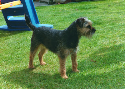 border terrier blue and tan