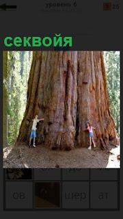 Огромное дерево секвойя, которое пытаются обнять двое людей раскинув руки вокруг ствола