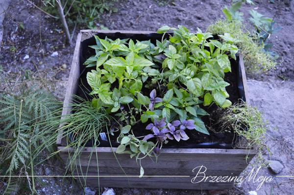 skrzynia z ziołami