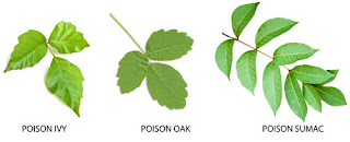 Differentiating the leaves of plants trees that cause severe allergic reaction poision sumac rash pictures