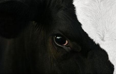 Dans ce poème Le Marginal Magnifique dénonce l'exlpoitation honteuse des vaches laitières et fait un parallele avec nous qui sommes tout autant exploites et traits jusqu'a notre mort sans reconnaissance