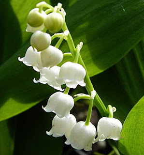 lily-of-the-valley-lamongan