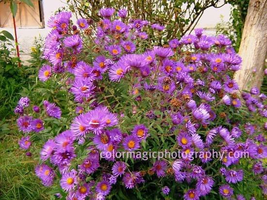 Aster dumosus-purple Wood's aster bush