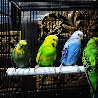 Daftar-Harga-Burung-Parkit-Lengkap-Semua-Jenis-Terbaru-2019