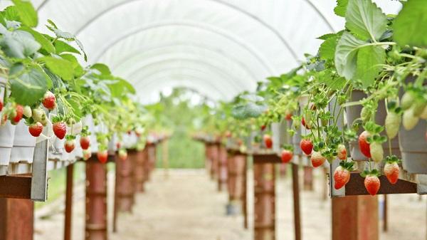 Top những vườn dâu tây nổi tiếng nhất Đà Lạt