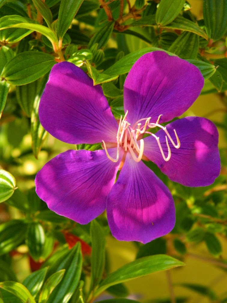 Tibouchina urvilleana edwardsii Glory Flower Universal Studios Orlando by garden muses-not another Toronto garden blog