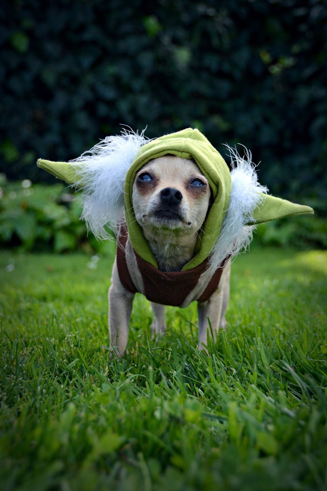 chihuahua Yoda Star Wars outfit & The Dog Geek: Happy Star Wars Day!