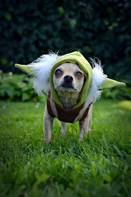 chihuahua Yoda Star Wars outfit