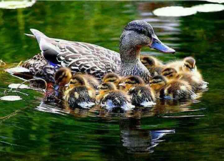 ördek resimleri