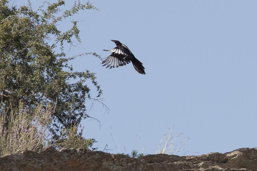 Asir (Arabian) Magpie - Pica asirensisis