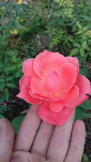 hoa hồng đà lạt màu vàng cam