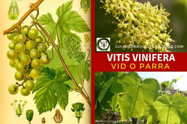 La Vitis vinifera, vid o parra, originariamente se cría asilvestrada en ribazos y sotos