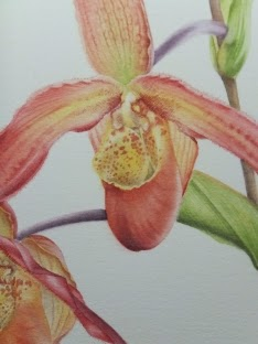 Phragmipedium Bel Royal watercolour painting