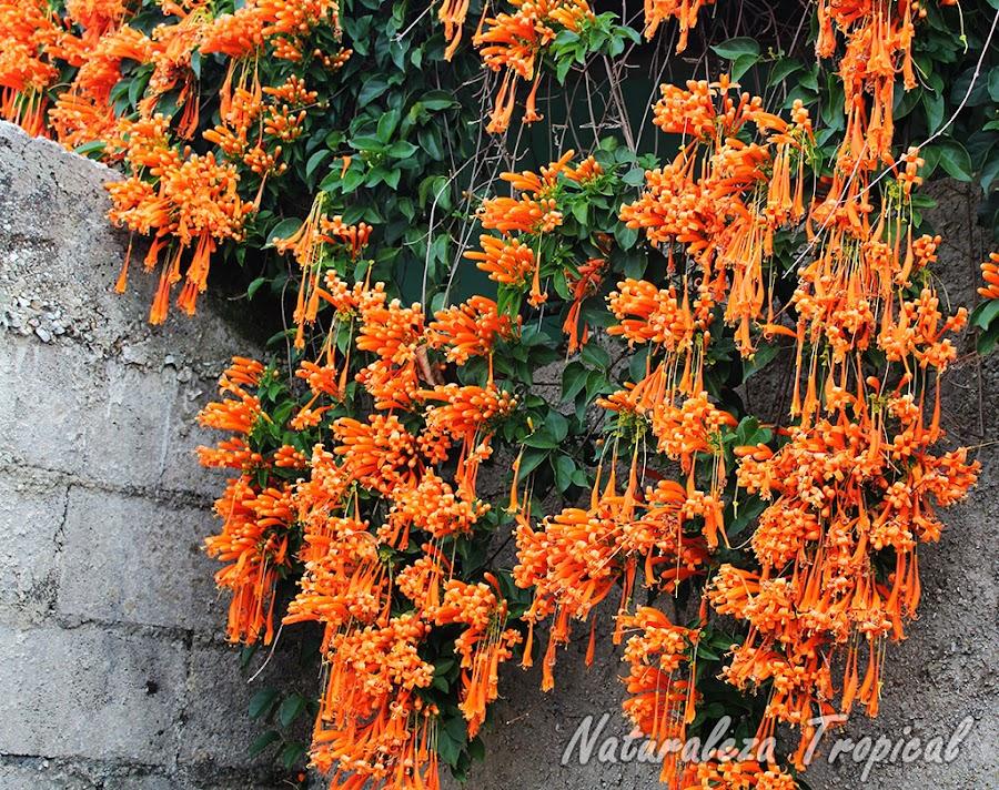 Planta trepadora ideal para cubrir vallas; en este caso cubre una pared. Pyrostegia venusta, Liana de Llama.