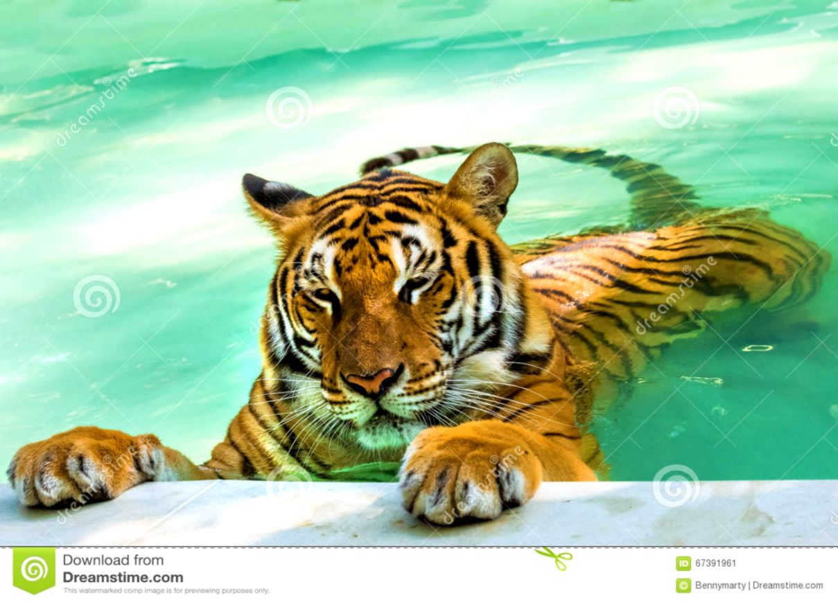 Tiger playing in water stock image Image of fierce carnivore