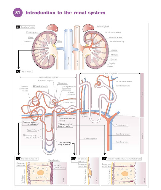 Introduction To The Renal System