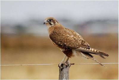 Halcón pardo Falco berigora