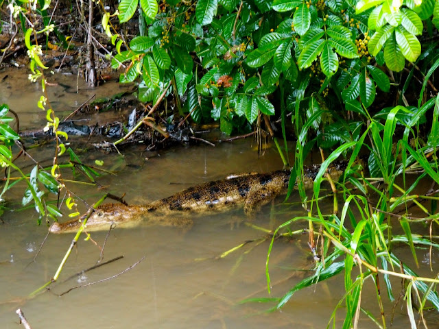 Crocodile in Caño Negro, near La Fortuna & Arenal, Costa Rica