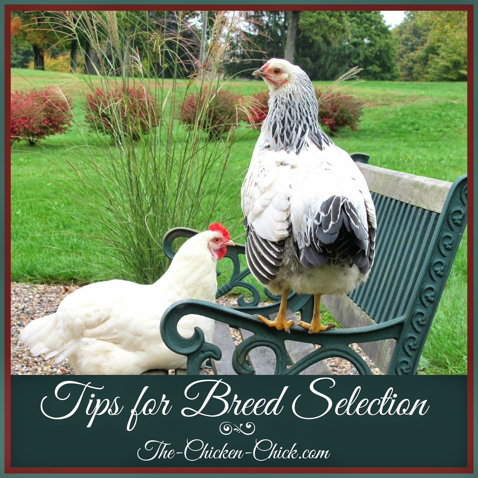 The enormous array of breeds available to choose from can be daunting, but it's important to make an informed decision about breeds in order to avoid disappointment for the chicken keeper as well as unnecessary challenges for the chickens.