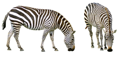 zebra unknown facts