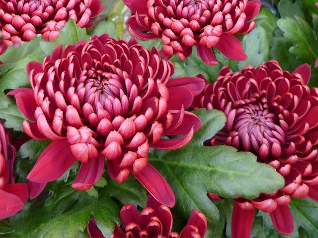 Hoa cúc Nhật Bản