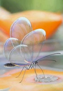 A foto mostra em fundo laranja e verde desfocado, uma borboleta pousada em uma superfície amarelada e plana, sorvendo um pingo d'água ampliado. As quatro asas voltadas para cima, tocam-se levemente como translúcidos e pequenos balões, finas e transparentes como bolhas de sabão deixam transparecer a delicadíssima estrutura interna que as sustentam, apoiadas sobre o fino corpo cinza e cônico refletem-se em arco-íris.