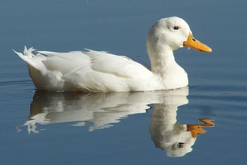 ducks swimming on the - photo #35